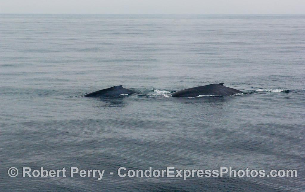 Twin Humpback Whales (Megaptera novaeangliae) on a very calm sea surface.