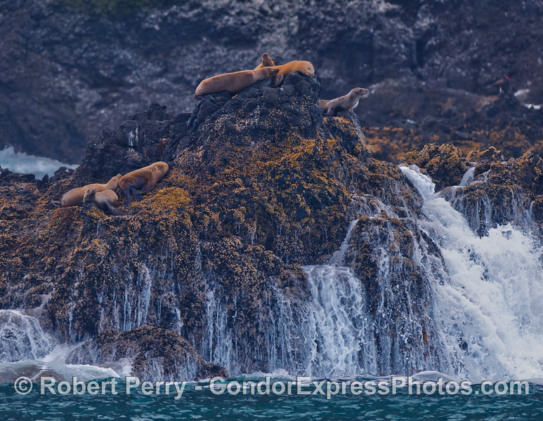 Seven young California Sea Lions (Zalophus californianus) rest on a rocky islet above the waves on Santa Cruz Island.  If you look closely, you can just barely make out the red beak of a Black Oystercatcher (Haematopus bachmani) on the upper right edge of the frame.