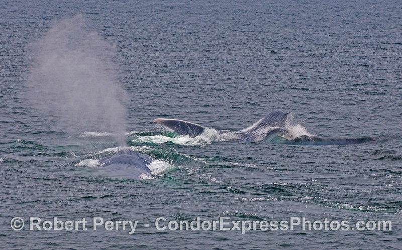 One Blue Whale (Balaenoptera musculus) lunges with its mouth wide open as a second whale spouts.