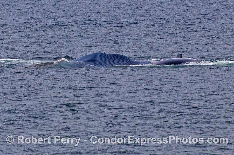 Image 2 of 2:  Blue Whale (Balaenoptera musculus) lunges at a ball of krill.  We are viewing the ventral pleats and left pectoral fin as this whale has rolled over on its right side to feed.  (Head is to the left of the photo).