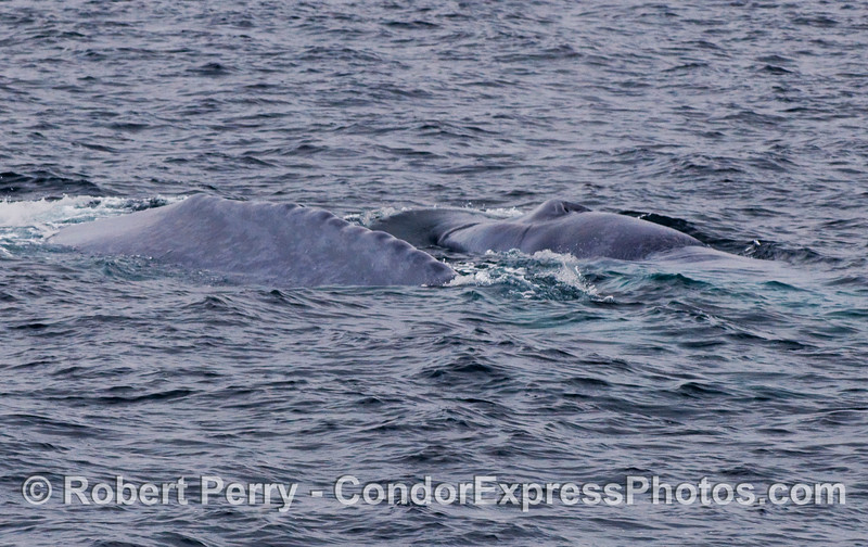 Two Blue Whales (Balaenoptera musculus) side by side.