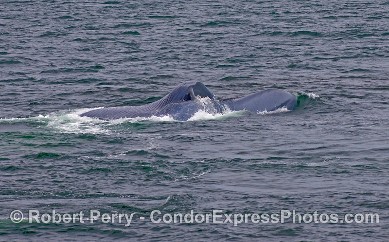 Image 1 of 2:  A Blue Whale (Balaenoptera musculus) on its right side closes its mouth to expel seawater and strain out the krill.  The back side of the animal is facing the camera and the ventral pleats are visible to the top.