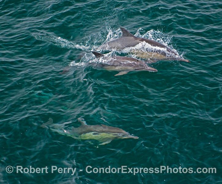 Three Common Dolphins (Delphinus capensis).