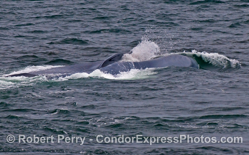 Image 2 of 2:  A Blue Whale (Balaenoptera musculus) on its right side closes its mouth to expel seawater and strain out the krill.  The back side of the animal is facing the camera and the ventral pleats are visible to the top.