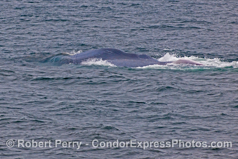 A Blue Whale (Balaenoptera musculus) on its back, lunge feedng.