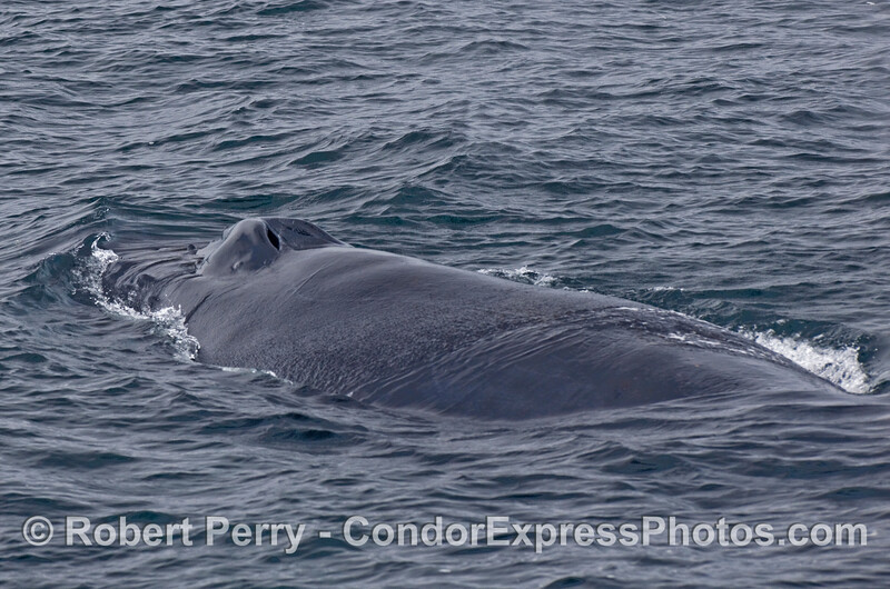 A look across the broad back of a Humpback Whale (Megaptera novaeangliae).