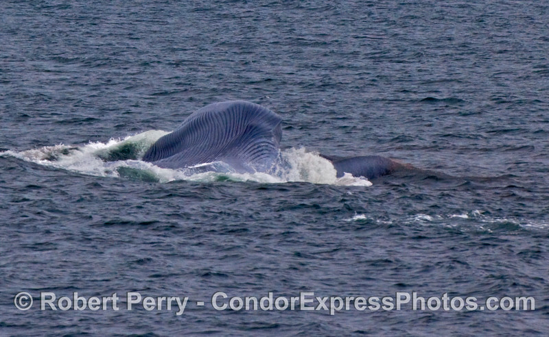 Ventral pleats expanded and full of water as this Blue Whale (Balaenoptera musculus) lunges to feed on krill.