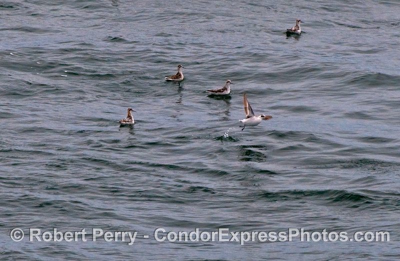 A small flock of Red Necked Phalaropes (Phalaropus lobatus).