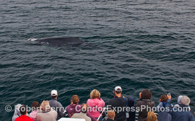 Whalers on board the Condor Express get a close visit by a Humpback Whale (Megaptera novaeangliae).