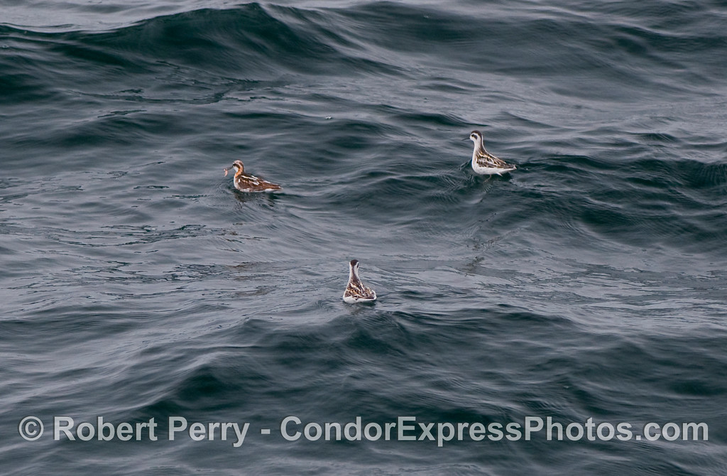 Three Red Necked Phalaropes (Phalaropus lobatus), the upper left bird is feeding on krill (Thysanoessa spinifera).