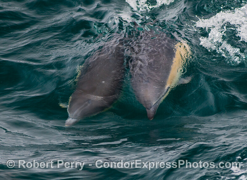 Two Common Dolphins (Delphinus capensis) share a small open ocean wave.