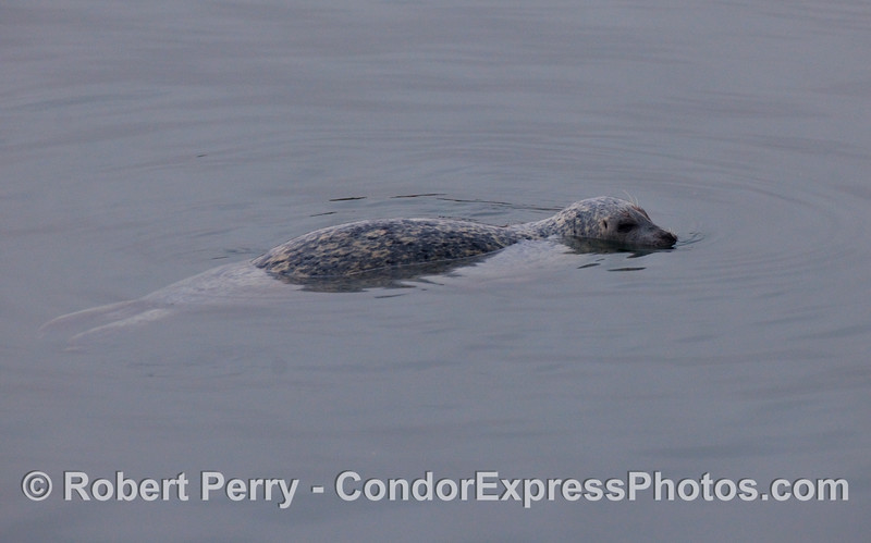 A wiley Harbor Seal (Phoca vitulina) inside Santa Barbara Harbor.