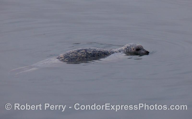 A wiley Harbor Seal (Phoca vitulina) inside Santa Barbara Harbor.