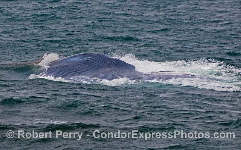 A lunge-feeding Blue Whale (Balaenoptera musculus).  The beast is upside down with ventral pleats exposed.  Krill can be seen popping out of the water just ahead of the mouth as tiny red dots on the surface.