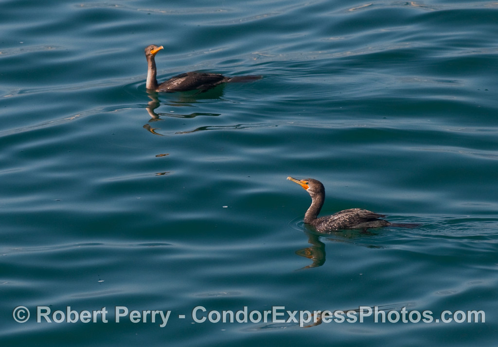 Two Brandt's Cormorants (Phalocrocorax penicillatus) on a glassy blue ocean.