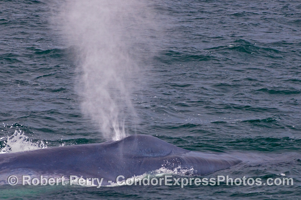 Ka-boom!  The mighty giant Blue Whale (Balaenoptera musculus) sends up a tall blow of air and condensed water.