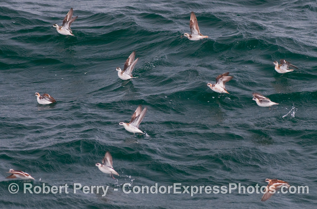 In this shot of a group of Red Necked Phalaropes (Phalaropus lobatus) taking off from the ocean surface, you can see the top right bird with a krill in its mouth.