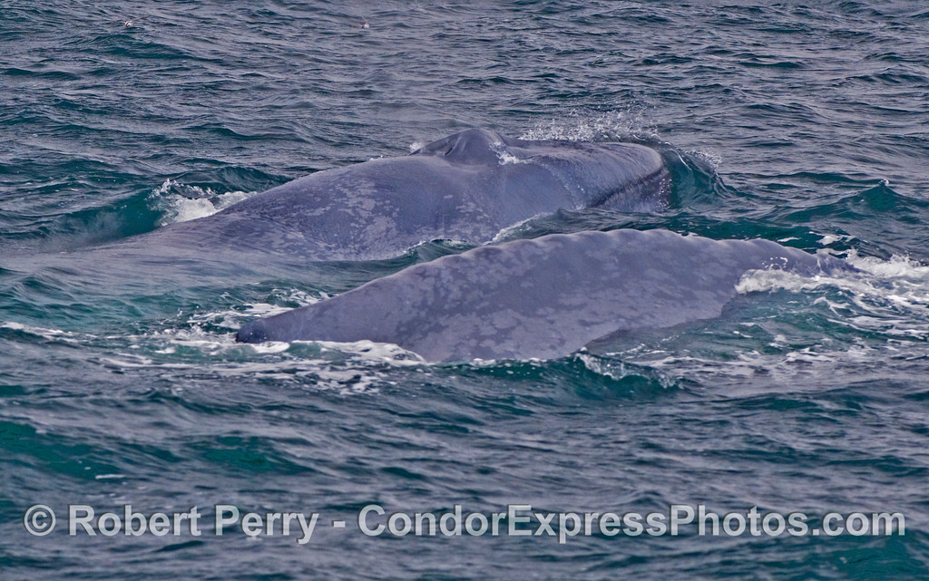 Two giants, a cow and her calf...Blue Whales (Balaenoptera musculus).