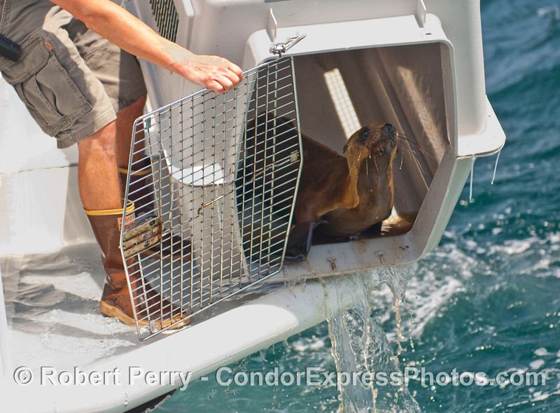 Condor Express crewman, Jacques, opens the door to freedom for this rehabilitated California Sea Lion pup (Zalophus californianus).