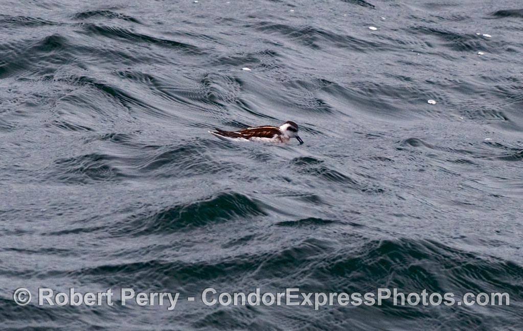 A tiny Red Necked Phalarope (Phalaropus lobatus) feeds on krill on the surface of the ocean.