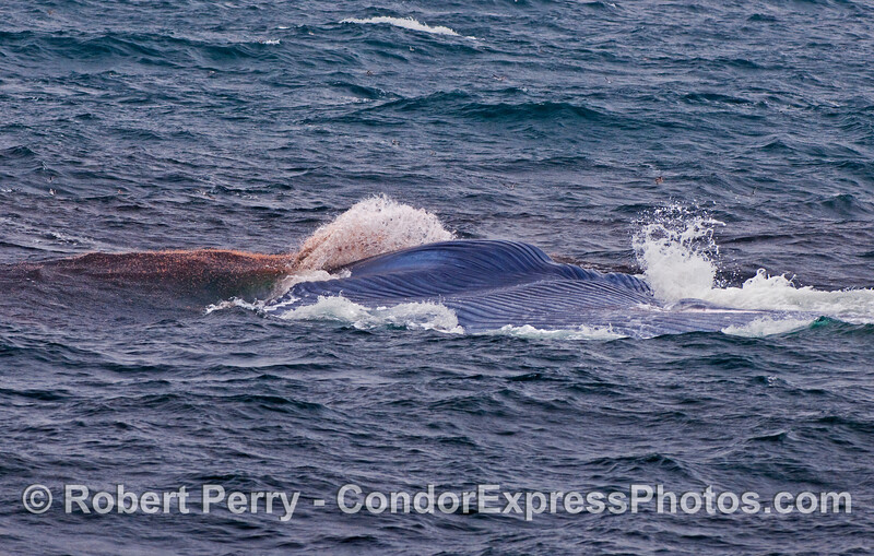 Millions of tiny red krill (Thysanoessa spinifera) can be seen popping out of the water in their attempt to evade consumption by this lunge-feeding Blue Whale (Balaenoptera musculus).   Also note the vast expanse of ventral pleats on this upside down whale.