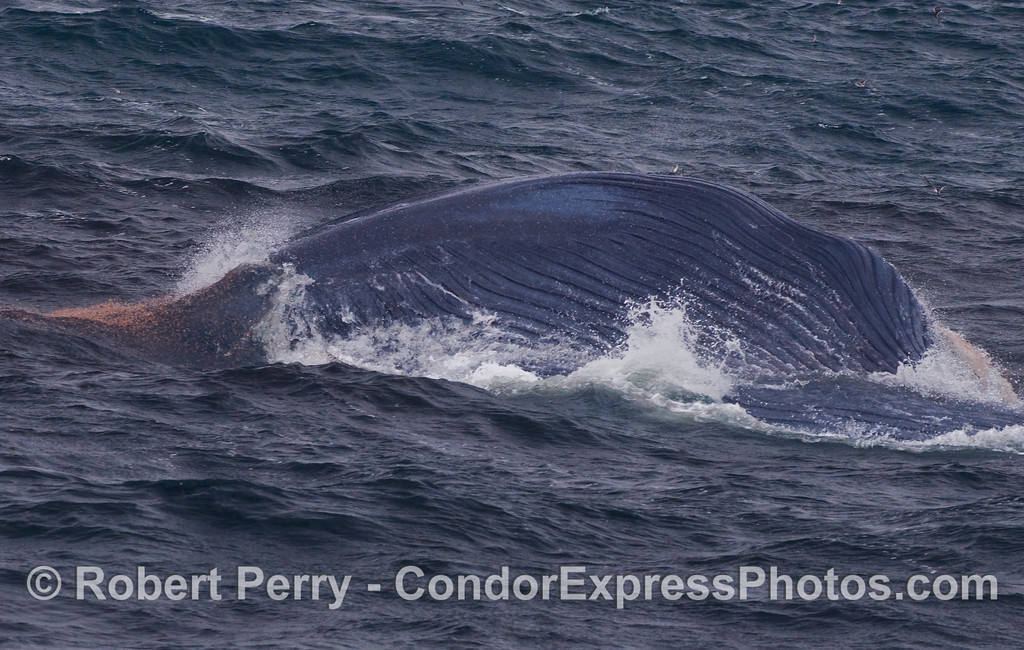 A lunge-feeding Blue Whale (Balaenoptera musculus)...lots of krill visible.