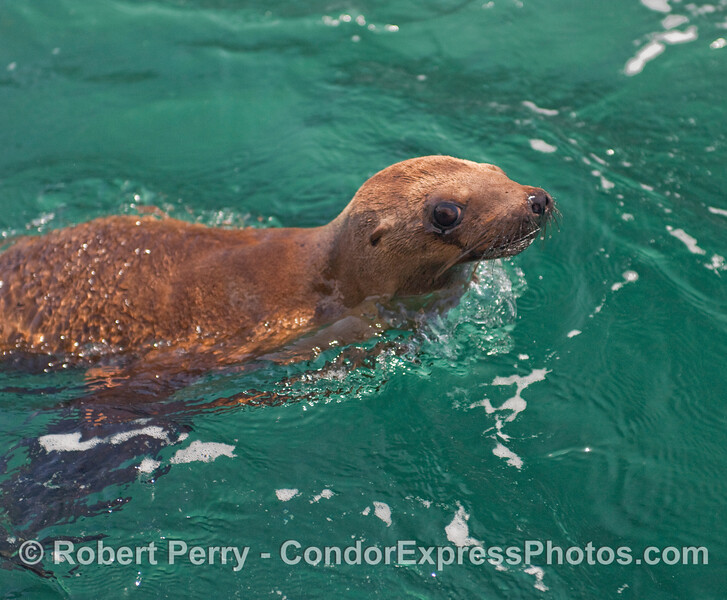 This is a young female California Sea Lion pup (Zalophus californianus) enjoying her first moments back in the wild ocean waters of Santa Cruz Island after being released from rehab by CIMWI (Channel Islands Marine & Wildlife Institute) volunteers.