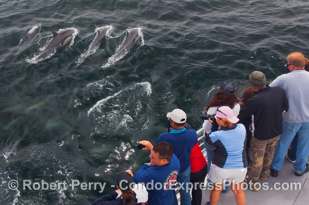 Whalers use modern weapons: digital cameras, to shoot these Common Dolphins (Delphinus capensis).