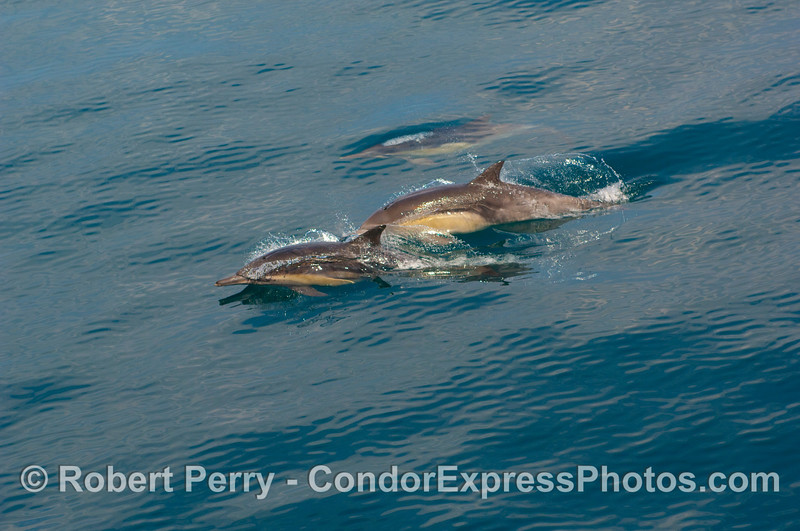 A small squadron of Common Dolphins (Delphinus capensis) breeze past the Condor Express.