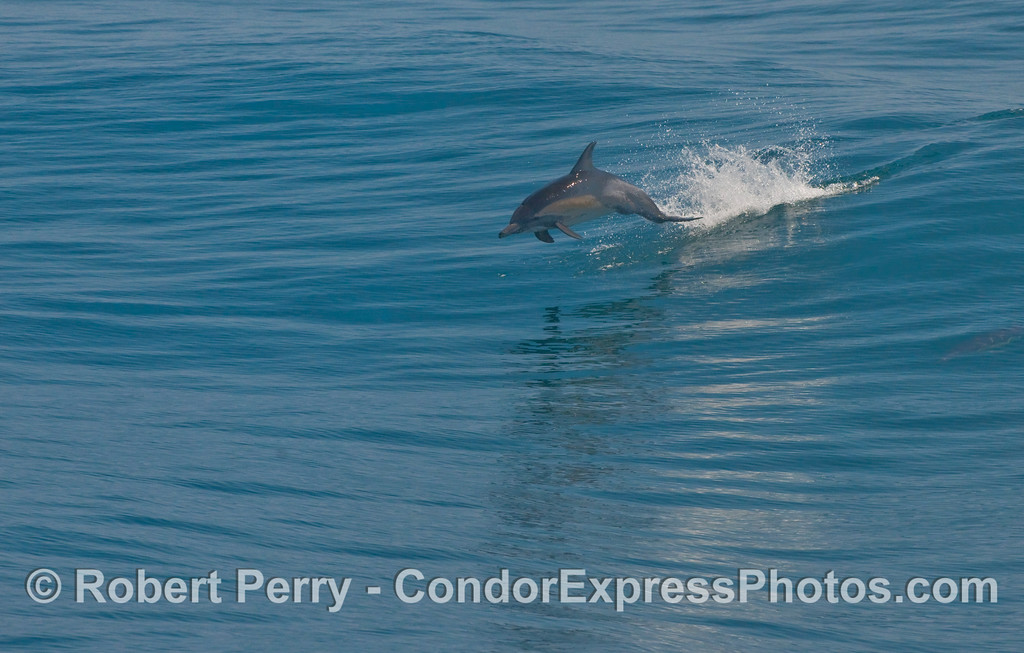 A Common Dolphin (Delphinus capensis) leaps over the waves.