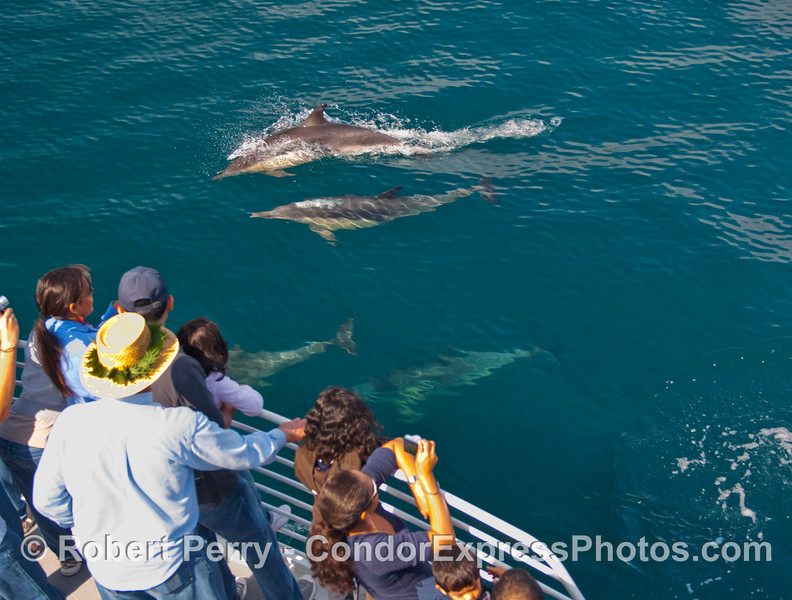 Whalers on board the Condor Express get a personal visit from a  herd of Common Dolphins (Delphinus capensis).