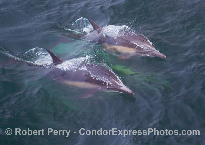 Twin Common Dolphins (Delphinus capensis) synchronize their breathing and swimming.