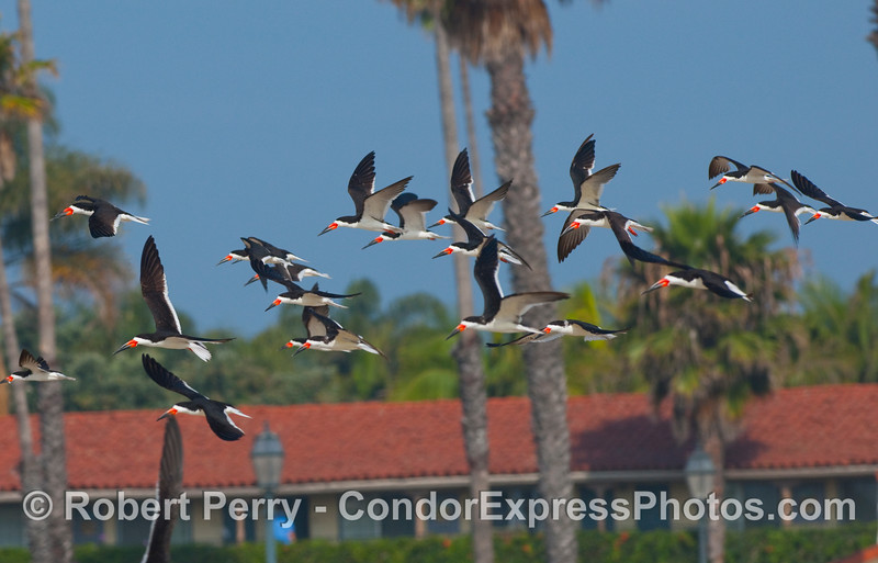 A flock of Black Skimmers (Rynchops niger) with the Santa Barbara shoreline in back.