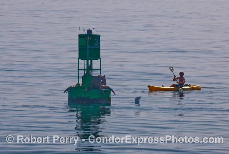 A lone kayaker visits the California Sea Lions (Zalophus californianus) on the harbor entrance buoy, Santa Barbara Harbor.