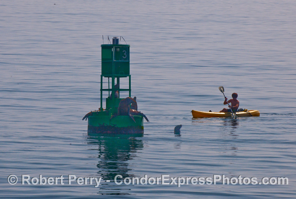 A lone kayaker visits the California Sea Lions (Zalophus californianus) on the harbor entrance buoy, Santa Barbara Harbor.