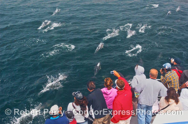 Common Dolphins (Delphinus capensis) visit the whalers.