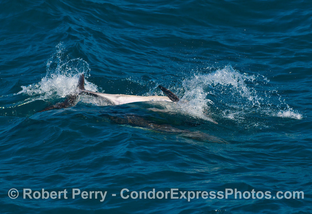 Three Common Dolphins (Delphinus capensis) fooling around.