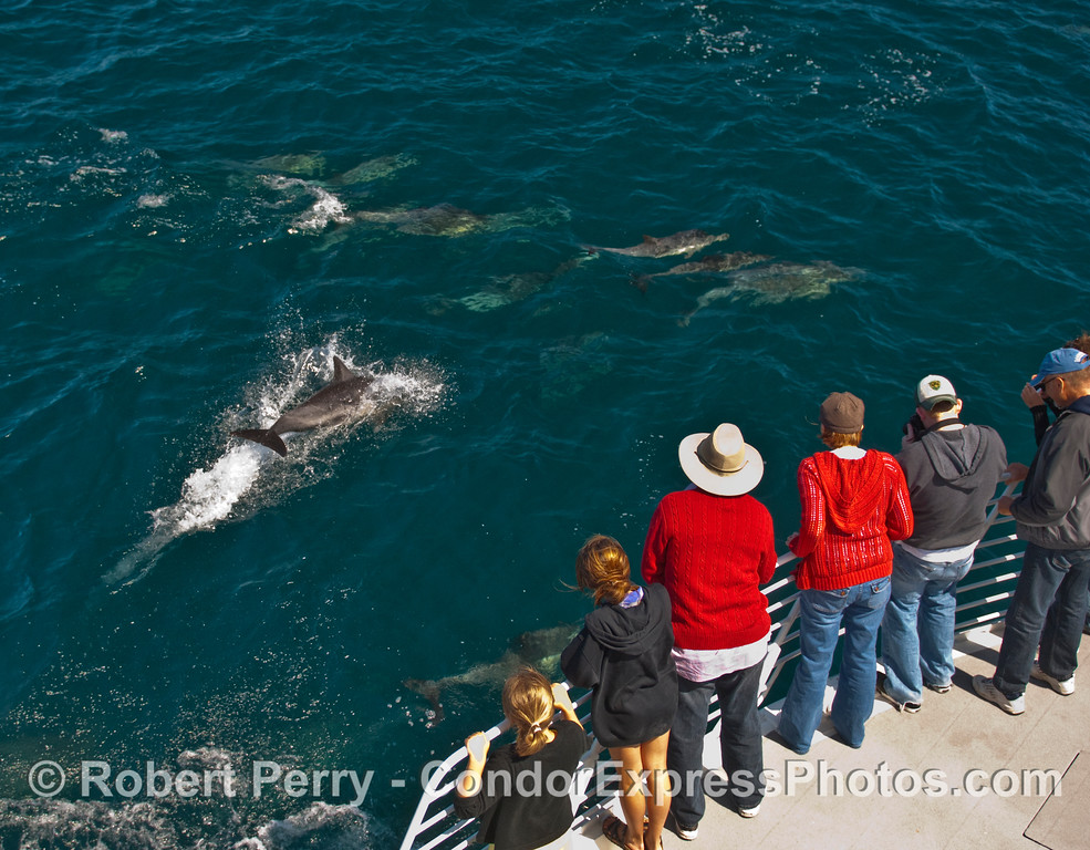 Whalers on board the Condor Express enjoy a close encounter with Common Dolphins (Delphinus capensis).