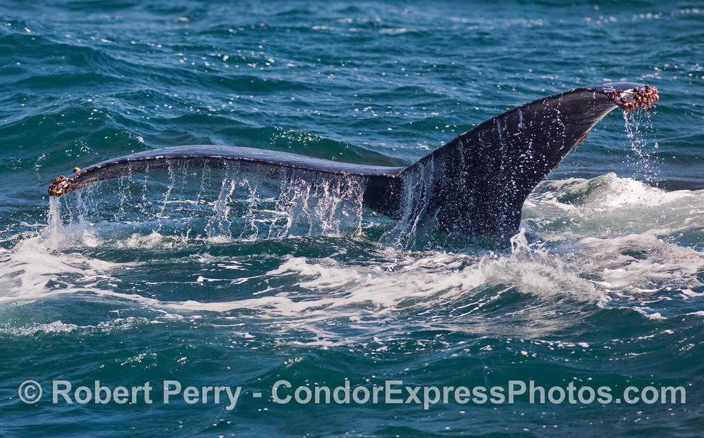 Tail flukes of a Humpback Whale (Megaptera novaeangliae).