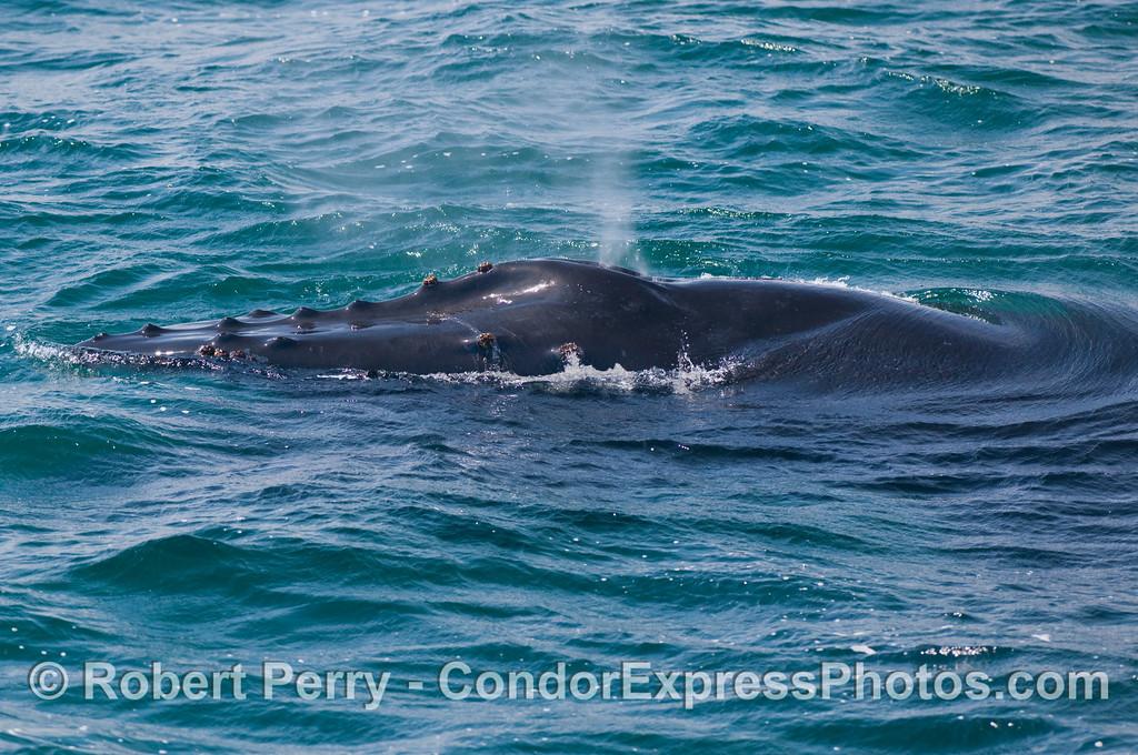 A very close portrait of a Humpback Whale's (Megaptera novaeangliae) head and spout.