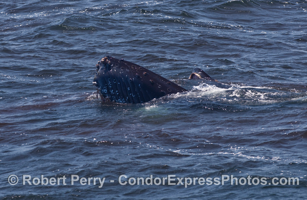The gaping jaws of a feeding Humpback Whale (Megaptera novaeangliae)...again notice the krill everywhere.