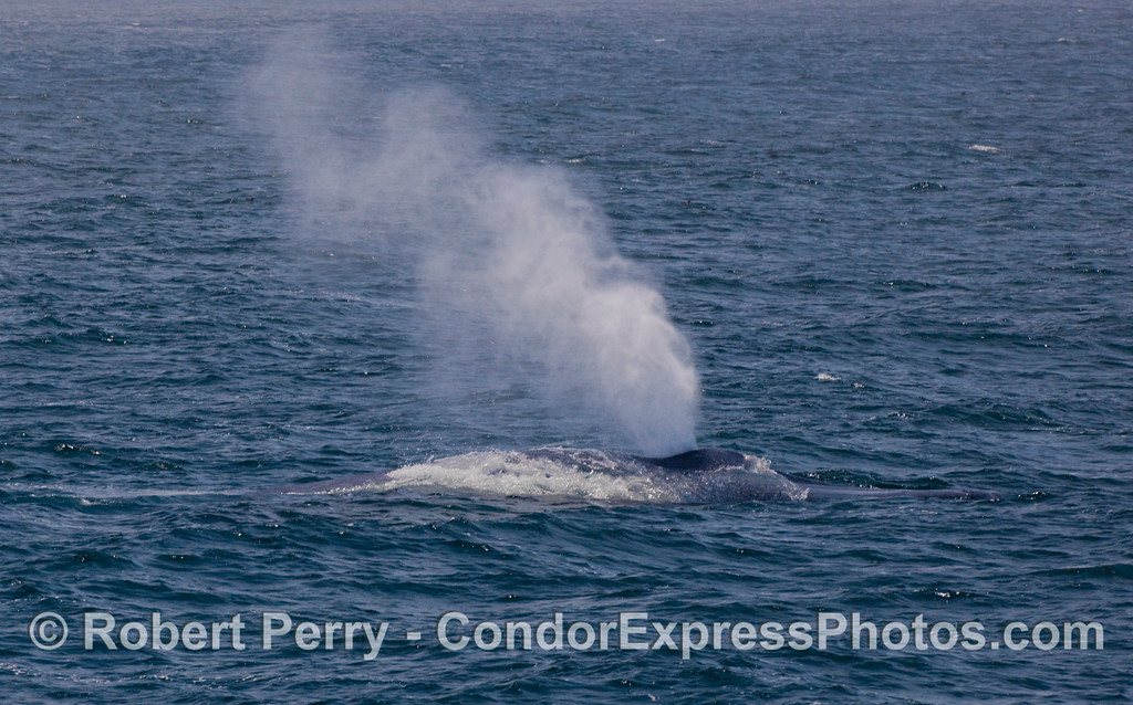 The mighty blast of a giant Blue Whale (Balaenoptera musculus) is the largest known amount of air to be exhaled by any organism that ever lived on this planet.