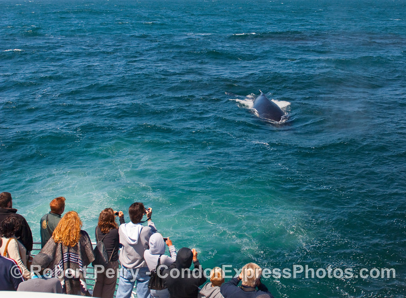 Whalers on the Condor Express enjoy a friendly Humpback Whale (Megaptera novaeangliae).