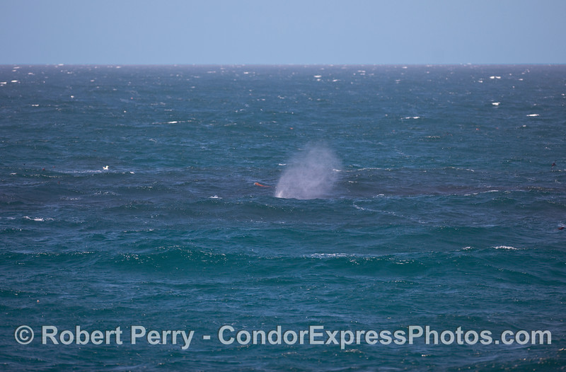 The spout of a Humpback Whale (Megaptera novaeangliae) catches the breeze in the middle of a huge krill patch.