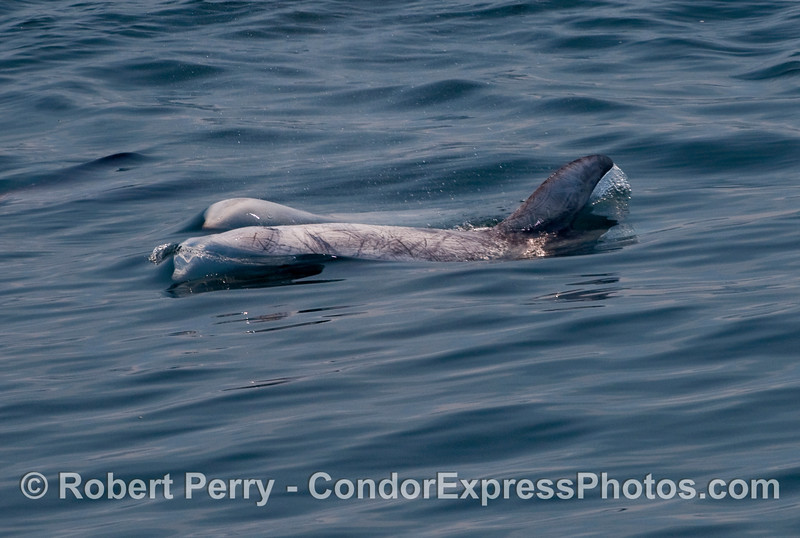 The bulbous heads of two Risso's Dolphins (Grampus griseus).