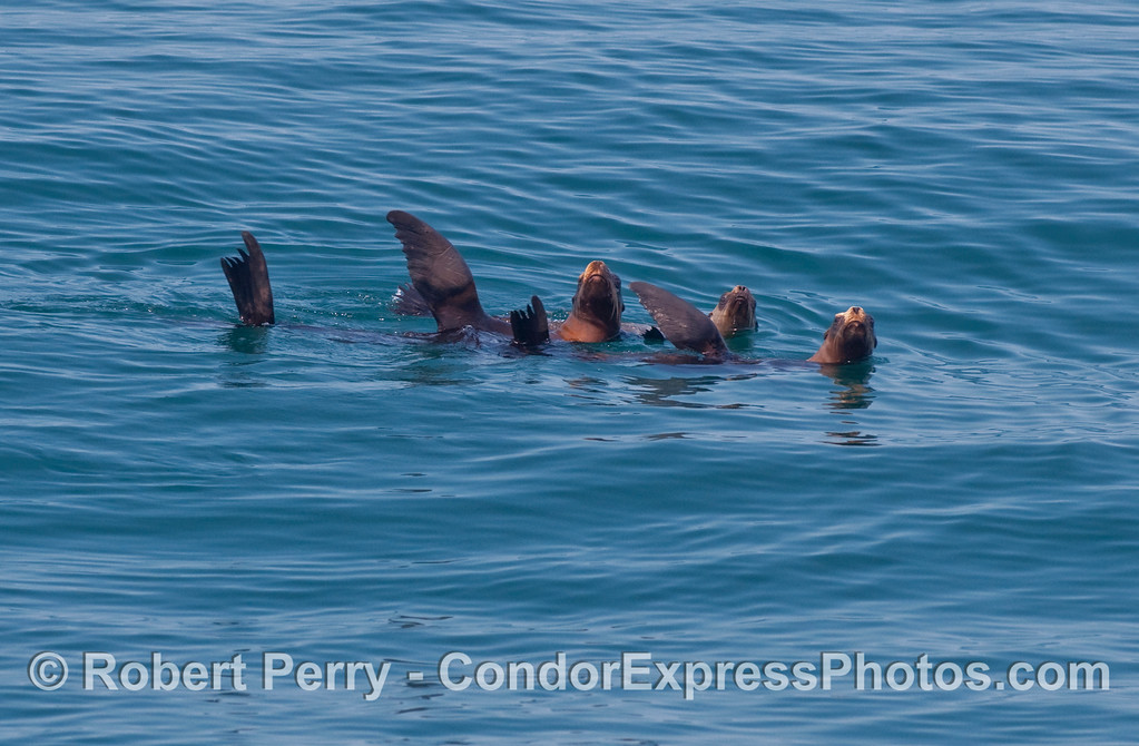 Three California Sea Lions (Zalophus californianus) rafting on the glassy surface give us a wave.