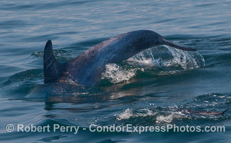 A Risso's Dolphin (Grampus griseus) arches its back and shows its tail flukes.