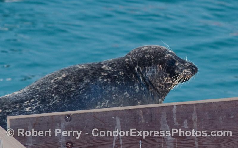 A chubby Harbor Seal (Phoca vitulina) sits in the sun inside the Harbor.