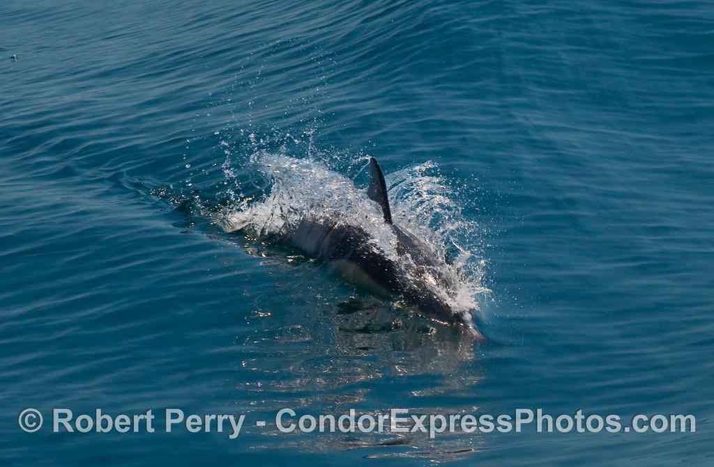 A Common Dolphin (Delphinus capensis) streaks past the Condor Express.