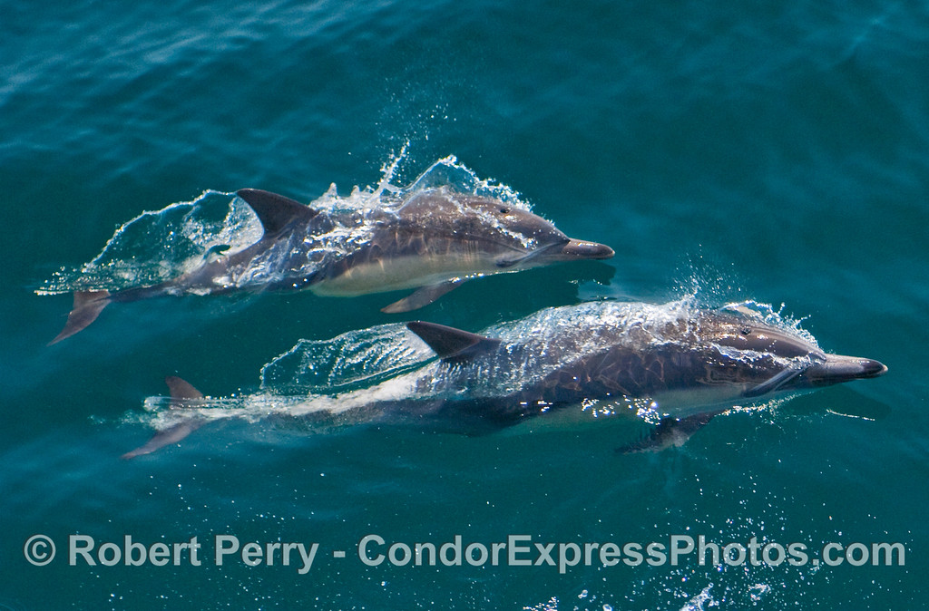 Two lively Common Dolphins (Delphinus capensis).